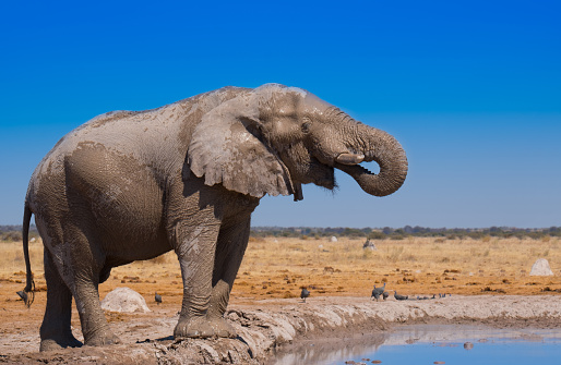 Approaching「African Elephant」:スマホ壁紙(14)