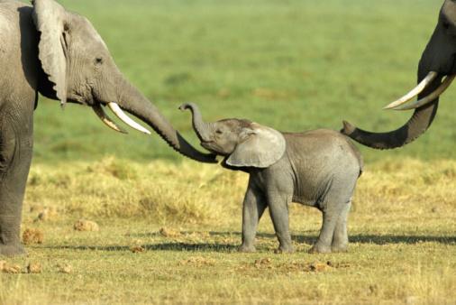 Animal Family「African elephant (Loxodonta africana) cow and calf」:スマホ壁紙(11)