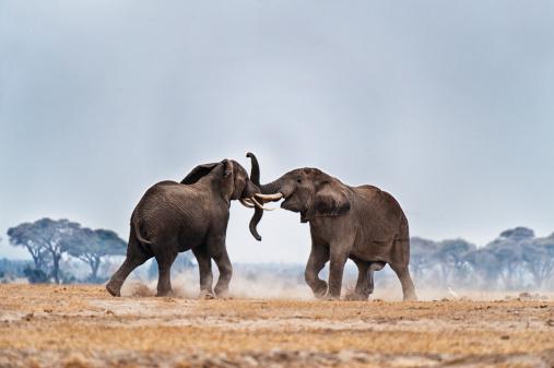 Aggression「African Elephants fighting」:スマホ壁紙(5)