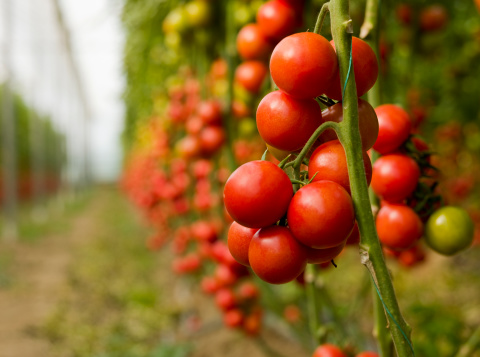 Tomato「Tomatoes growing in a greenhouse」:スマホ壁紙(6)