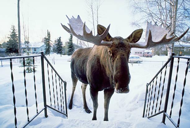Moose Approaching Front Porch:スマホ壁紙(壁紙.com)
