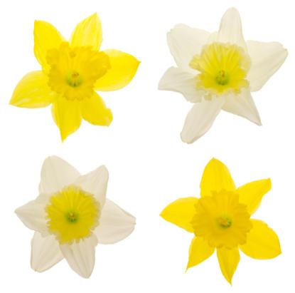 Digital Composite「Daffodils (XXL)」:スマホ壁紙(6)