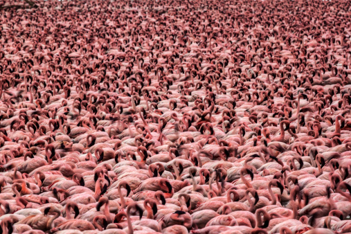 Flock Of Birds「Lesser Flamingos in masse」:スマホ壁紙(17)