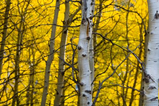 Aspen Tree「White bark of a yellow aspen」:スマホ壁紙(3)