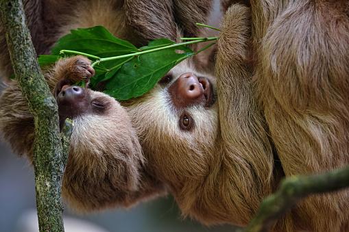 Costa Rica「two-toed sloths」:スマホ壁紙(8)