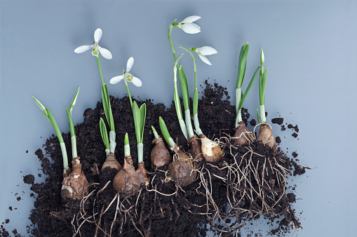 Plant Bulb「Snowdrops, bulbs and potting soil」:スマホ壁紙(18)