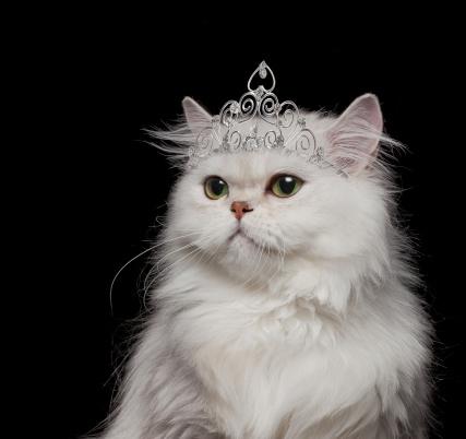 Crown - Headwear「White Persian Cat wearing tiara」:スマホ壁紙(10)