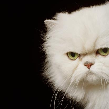 Animal Hair「White Persian cat looking annoyed, close-up, portrait」:スマホ壁紙(19)