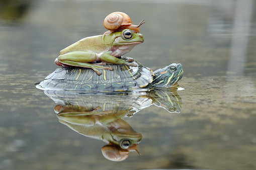 Frog「Frog and a snail on a turtle, Indonesia」:スマホ壁紙(7)