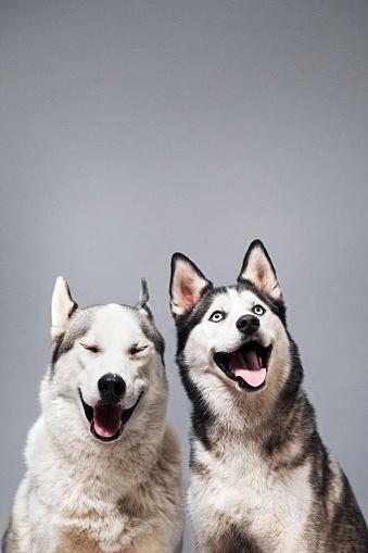 Mouth Open「Two Happy Husky Dogs」:スマホ壁紙(10)