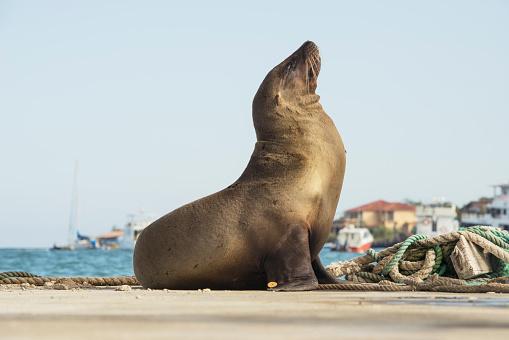 Sea Lion「Sea lion sunbathing in the harbour of Puerto Ayora, Santa Cruz Island, Galapagos」:スマホ壁紙(18)
