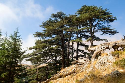 Indigenous Culture「Cedar forest in Lebanon near Bcharre」:スマホ壁紙(7)