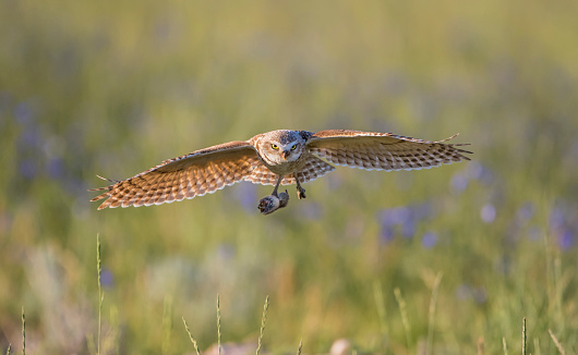 建築「Burrowing Owl (Athene Cunicularia) flying over burrow with rodent to feed young, Pinedale, Sublette County, Wyoming, USA」:スマホ壁紙(13)