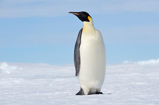 Peninsula「Antarctica, Snow Hill Island, Emperor penguin」:スマホ壁紙(8)