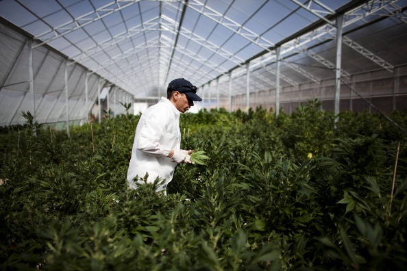 Growth「Israel Pioneers Use Of Medical Marijuana」:写真・画像(1)[壁紙.com]
