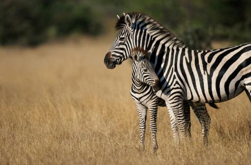 Animal Family「Zebra (Eqqus burchelli) with colt, Savuti Marsh, Botswana」:スマホ壁紙(0)