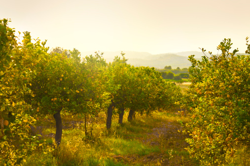 Branch - Plant Part「Lemon orchard」:スマホ壁紙(15)