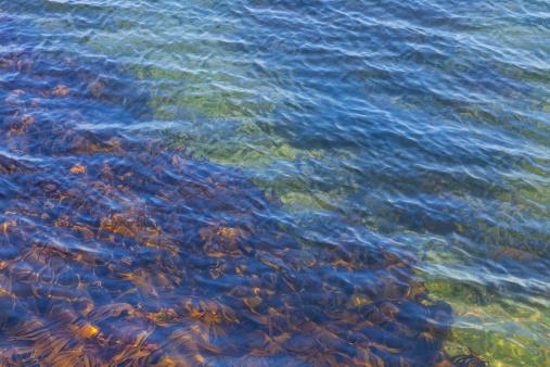 Shallow「Kelp Growing Underwater」:スマホ壁紙(4)