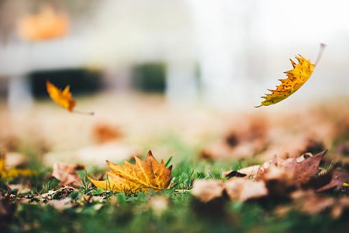 かえでの葉「Falling 秋の葉」:スマホ壁紙(12)