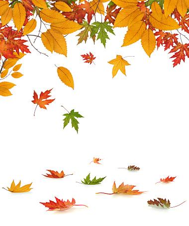 かえでの葉「Falling 秋の葉」:スマホ壁紙(5)