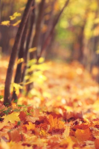 かえでの葉「Falling 秋の葉」:スマホ壁紙(7)