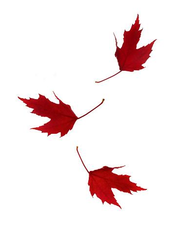 かえでの葉「Falling autumnal red maple leaves on white.」:スマホ壁紙(9)