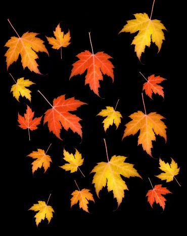 かえでの葉「Falling autumnal maple leaves on black.」:スマホ壁紙(8)