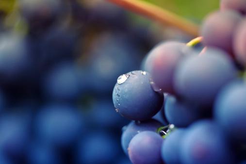Grape「red vine」:スマホ壁紙(19)
