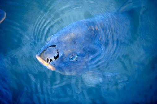 Carp「Carp swimming to water surface, close up」:スマホ壁紙(12)