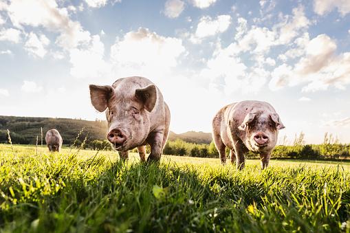 Mammal「Pigs in the pasture」:スマホ壁紙(4)