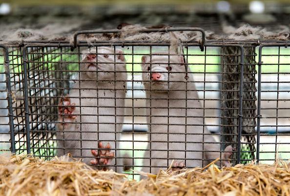 Denmark「Disaster In Denmark As Covid-19 Mutation Detected On Mink Farms」:写真・画像(0)[壁紙.com]