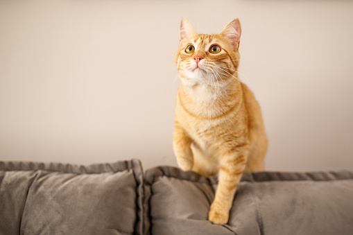 Shorthair Cat「Curious cat looking to the top」:スマホ壁紙(11)