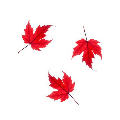 かえでの葉「Tumbling red maple leaves on white.」:スマホ壁紙(15)