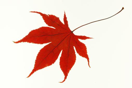 かえでの葉「Red maple leaf」:スマホ壁紙(15)