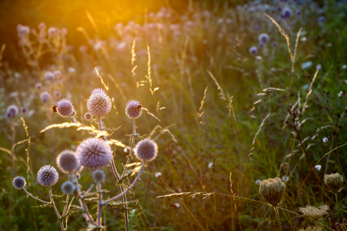 Botany「Garden with blossoming thistles (Carduus) at sunlight」:スマホ壁紙(3)