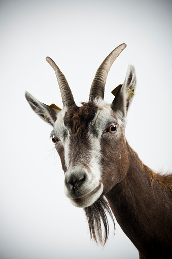 Horned「Studio portrait of Thuringian goat.」:スマホ壁紙(12)