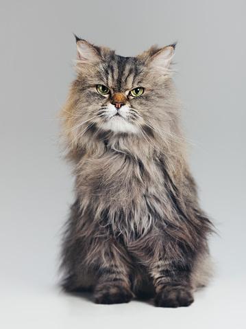 Adult「Studio portrait of purebred persian cat looking at camera with attitude」:スマホ壁紙(7)