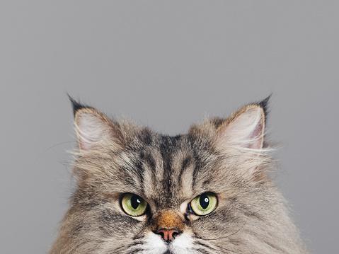 Adult「Studio portrait of purebred persian cat looking at camera with attitude」:スマホ壁紙(15)