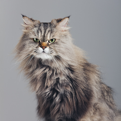 Adult「Studio portrait of purebred persian cat looking at camera with attitude」:スマホ壁紙(2)