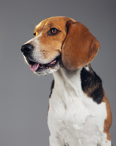 Brown Hair「Studio portrait of Beagle dog looking away and showing his tongue」:スマホ壁紙(4)