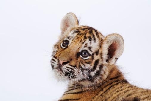 Tiger「Studio portrait of a two month old Tiger cub, Panthera tigris. Dist. Asia but extinct in much of its range. (PR: Property Released)」:スマホ壁紙(17)