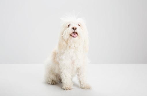 Long Hair「white havanese dog, looking to camera, studio」:スマホ壁紙(6)