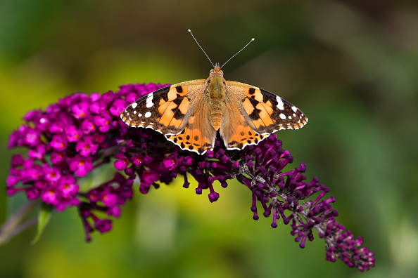 Animal Themes「Unusually High Numbers of Painted Lady Butterflies Reported Across Europe」:写真・画像(9)[壁紙.com]