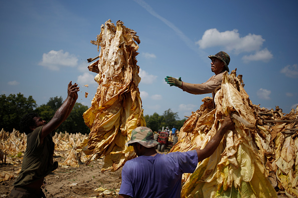 Burley - England「Tobacco Harvesting Underway In Kentucky」:写真・画像(8)[壁紙.com]
