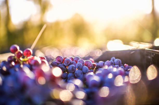Grapes after being harvested:スマホ壁紙(壁紙.com)
