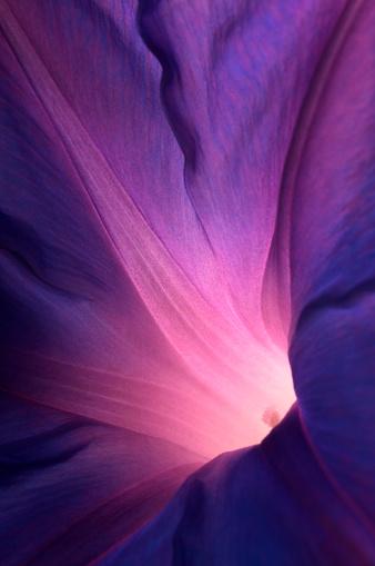 Single Flower「Purple morning glory flower」:スマホ壁紙(12)