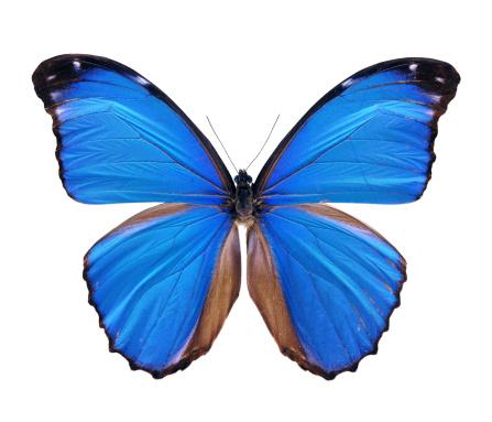 Animal Body「Blue Morpho Butterfly - Large」:スマホ壁紙(4)