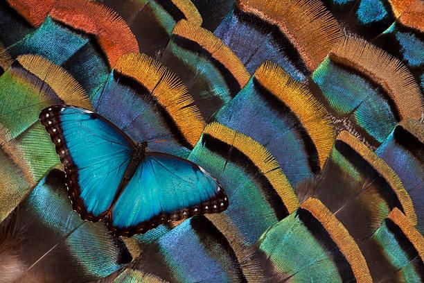 Blue Morpho Butterfly on Oscellated Turkey Feather:スマホ壁紙(壁紙.com)