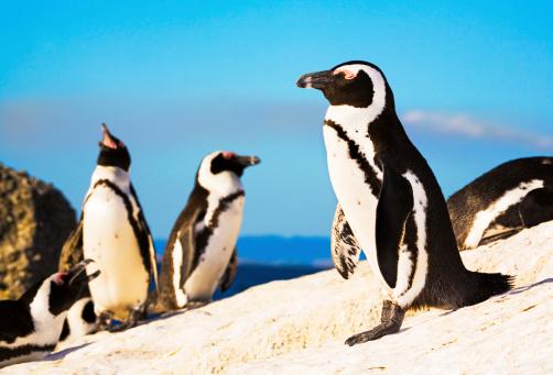 Rocky Coastline「Penguin colony」:スマホ壁紙(18)