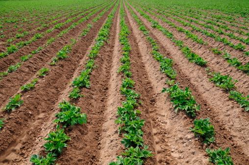 Plowed Field「Jersey Royal potato crop.」:スマホ壁紙(14)